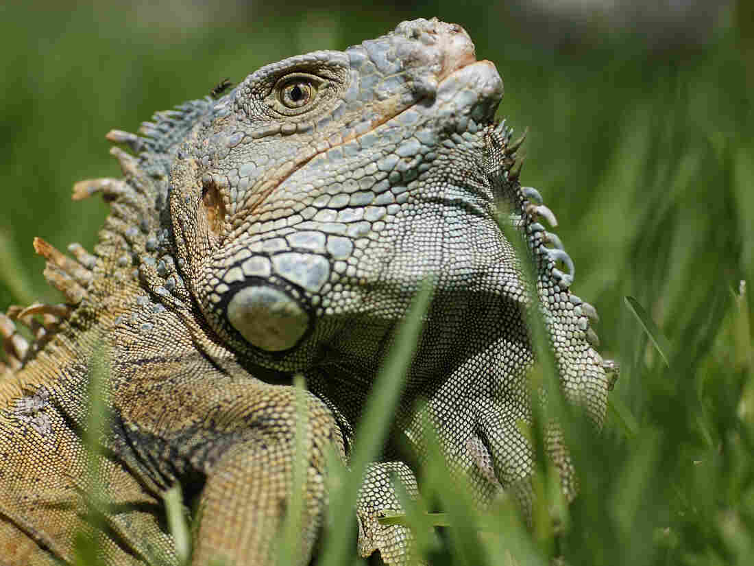 "The Animal Rights Foundation of Florida says the way state scientists are killing iguanas is downright ""brutal."""