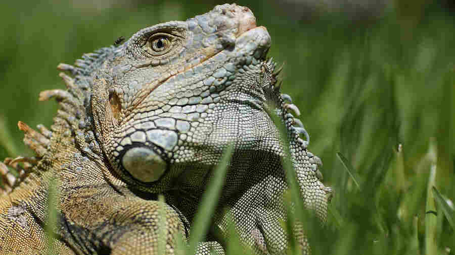 Why Are Iguanas' Skulls Being Crushed In The Name Of Science?