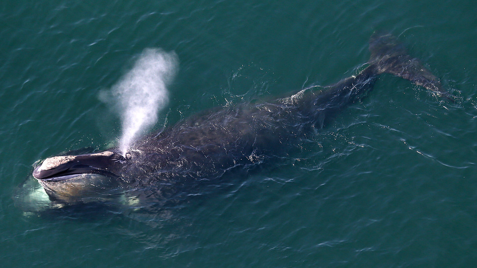 North Atlantic right whales are at risk of extinction because they often become ensnared in ropes used to guide lobster traps along the Northeastern U.S. and Canadian coastline. ( David L. Ryan/Boston Globe via Getty Images)