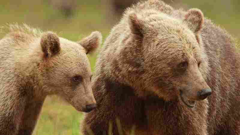 Mother Bears Are Staying With Their Cubs Longer, Study Finds