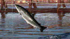 After 3 Decades, Washington State Bans Atlantic Salmon Farms