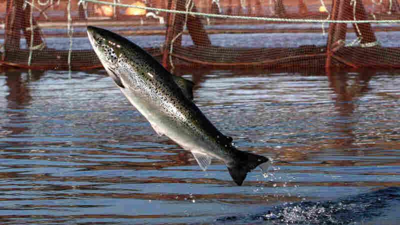 After 3 Decades, Washington State Bans Atlantic Salmon Farms