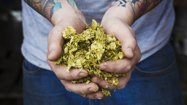 Some beer makers are excited about the possibility of using modified yeast to flavor beer instead of hops, which require a lot of water to grow.