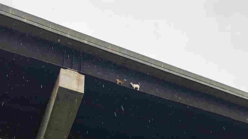 So 2 Goats Were Stuck On A Beam Under A Bridge ...