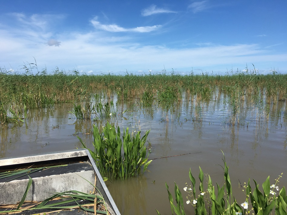 What was once a thick stand of roseau cane near the mouth of the Mississippi River is now open water.