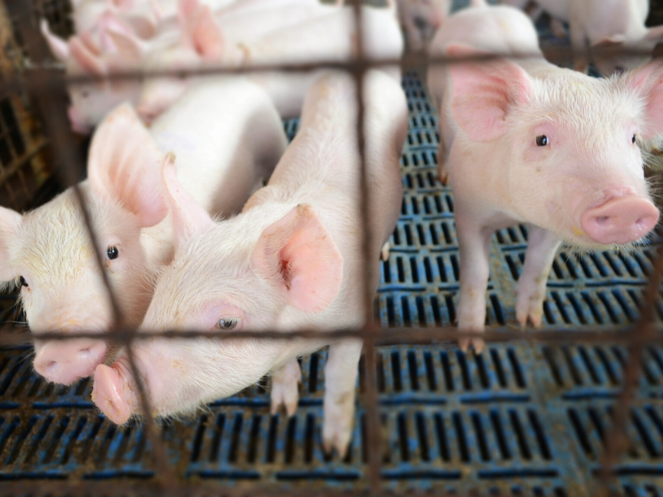 Hog farmers worry that they will pay a hefty price if there's a trade war with China. (Red Cedicol/EyeEm/Getty Images)