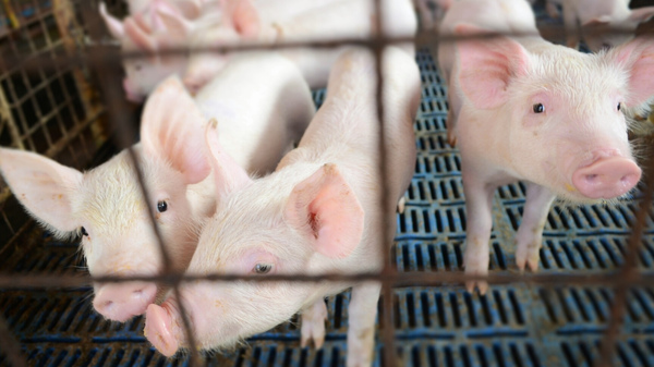 Hog farmers worry that they will pay a hefty price if there