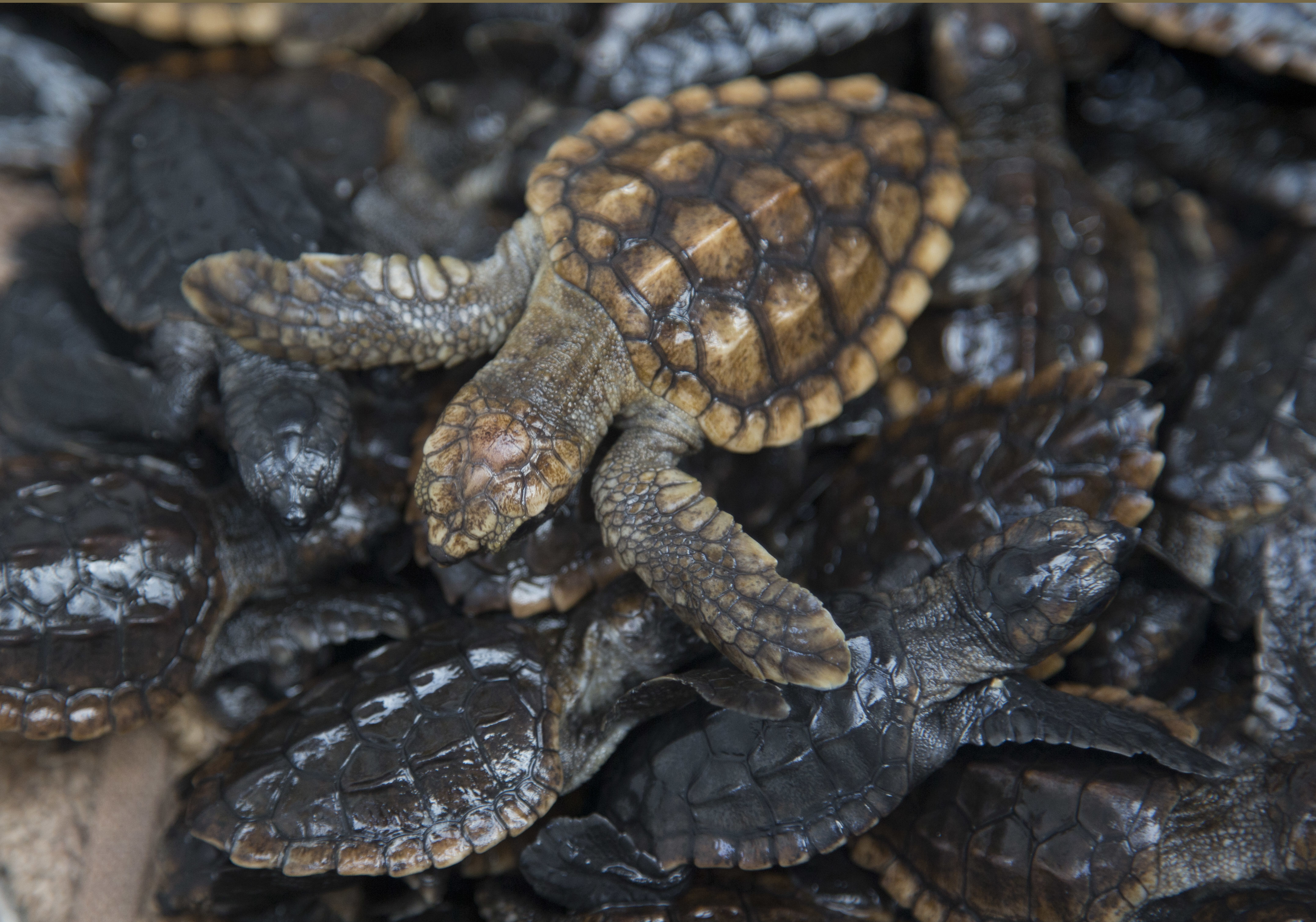 Magnetic Fields Are A Big Predictor Of A Loggerhead Turtle's Genes