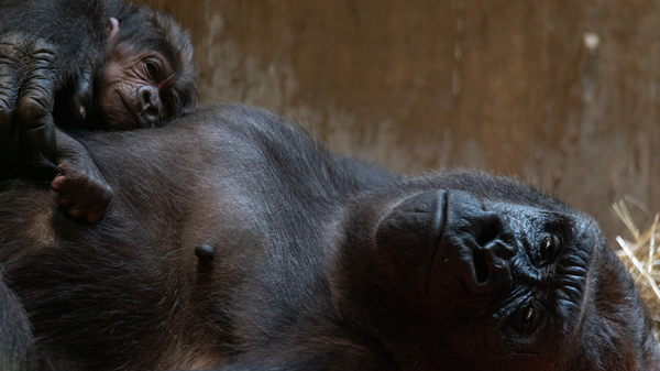 Moke, a western lowland gorilla, was born on Sunday to great delight at the Smithsonian