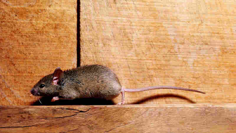New York City Mice Carry Bacteria That Can Make People Sick