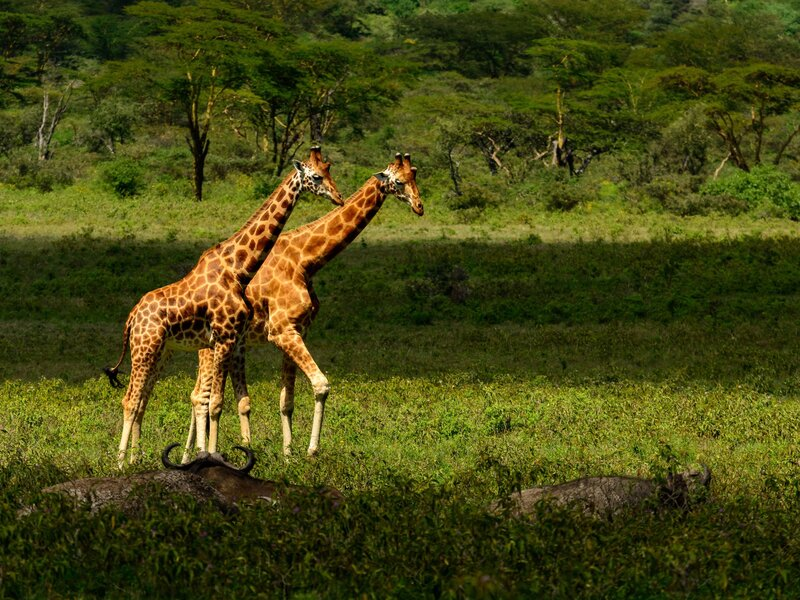 A Silent Extinction Finding Peace And Saving Giraffes On A Lake In