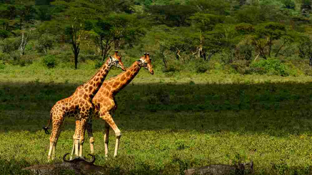 'A Silent Extinction': Finding Peace And Saving Giraffes On A Lake In Kenya
