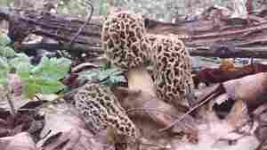 On The Hunt For The Elusive Morel Mushroom In Ohio's Appalachian Country