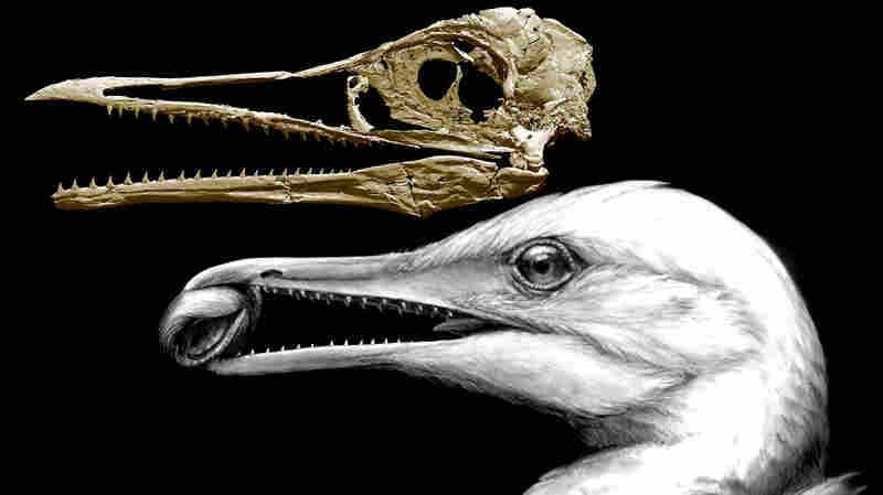 How Did Birds Lose Their Teeth And Get Their Beaks? Study Offers Clues
