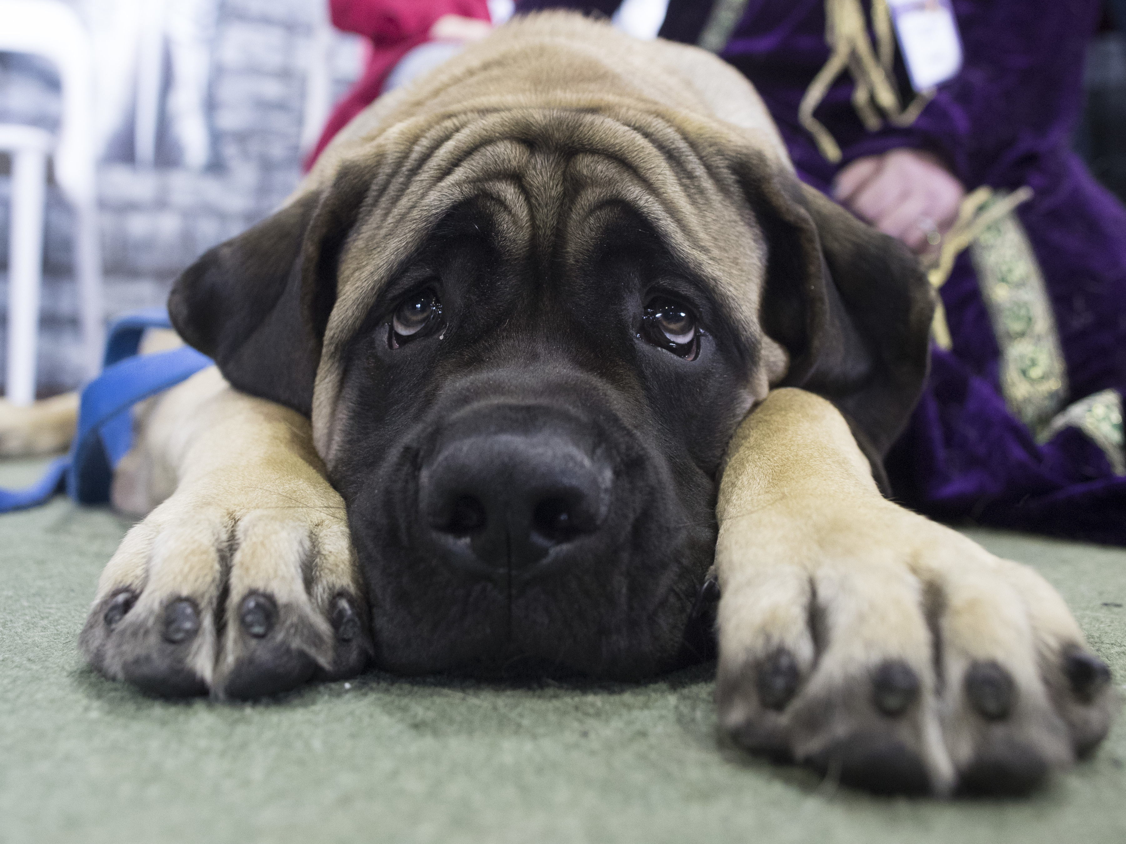 United Airlines Will Ban Dozens Of Dog, Cat Breeds In New Pet Guidelines :  The Two-Way : NPR