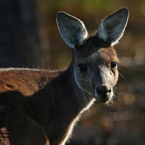 Australian Politician Warns Tourists: Don't Feed The Kangaroos