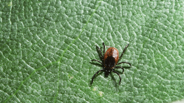 Black-legged ticks, also known as the deer ticks, can carry Lyme disease.