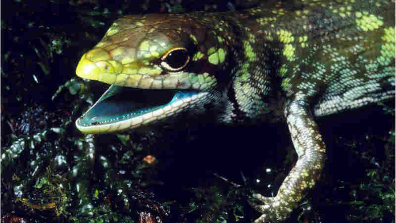 Why Do Some Lizards Have Green Blood?