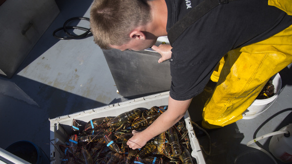 Austin Steeves packages lobsters after hauling traps on his grandfather