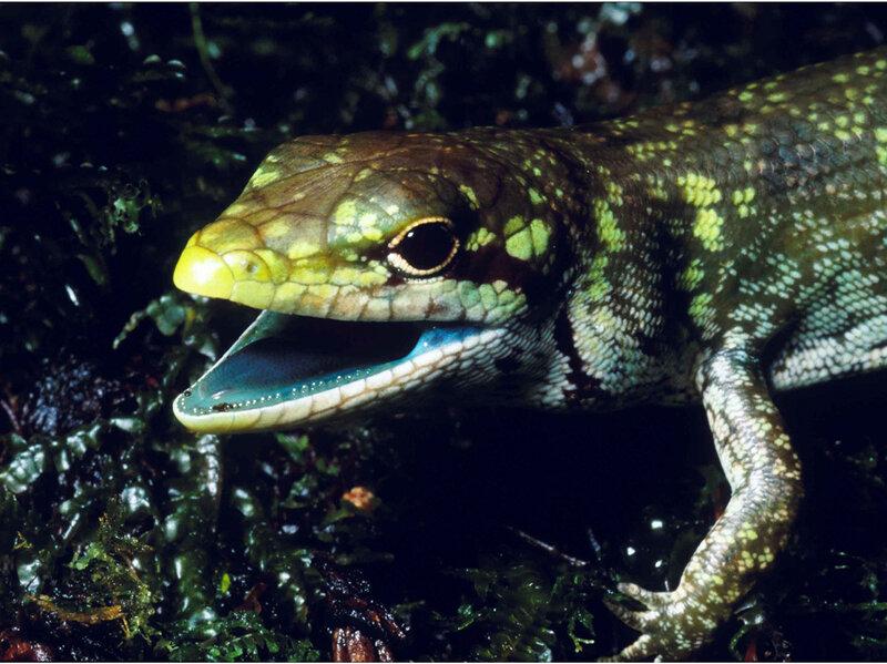 does green blood give some lizards an edge shots health news npr