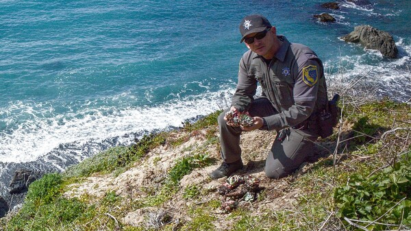 California Game Warden Pat Freeling replants stolen succulents along the Mendocino coastline.
