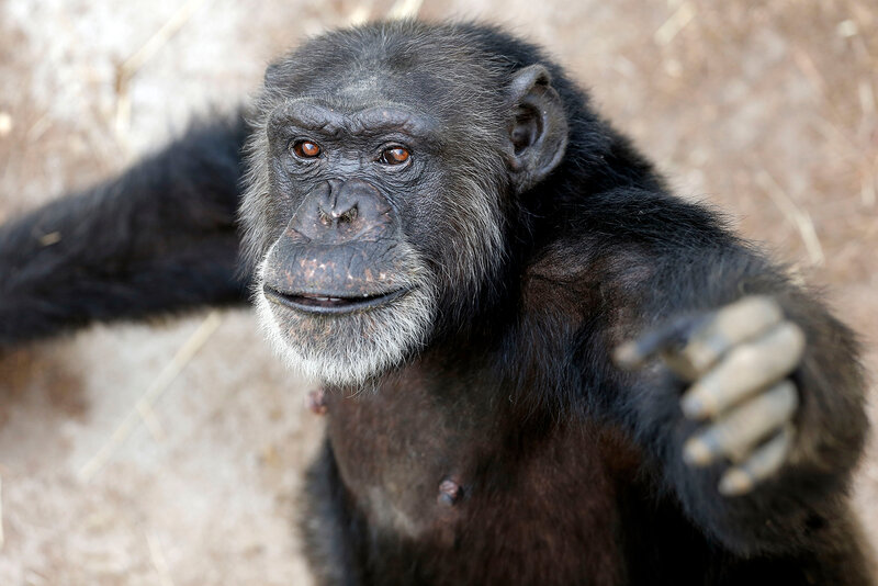 retired nih research chimps should go to sanctuaries if possible