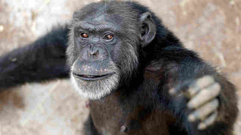 Report: Most Former Research Chimps Should Move To Retirement Sanctuaries