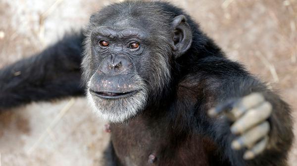 Report: Most Former Research Chimps Should Move To Retirement Sanctuaries