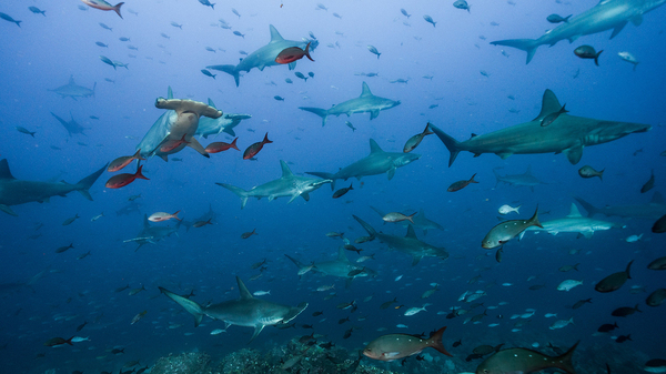 Scientists Take A Ride On The Pacific's 'Shark Highway'