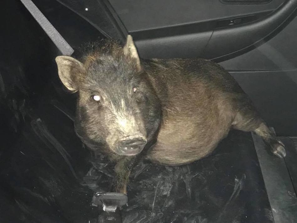 Ohio police help man who was being followed home by a pig (npr.org)