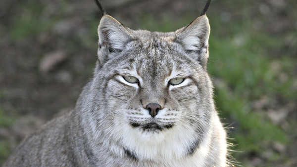 A Canada lynx, looking rather nonplussed.