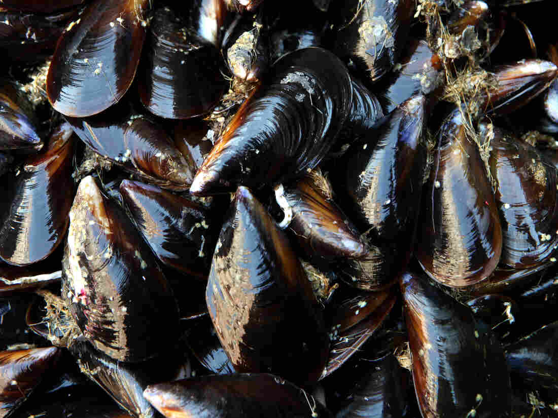 Mussels test positive for opioids in Seattle's Puget Sound