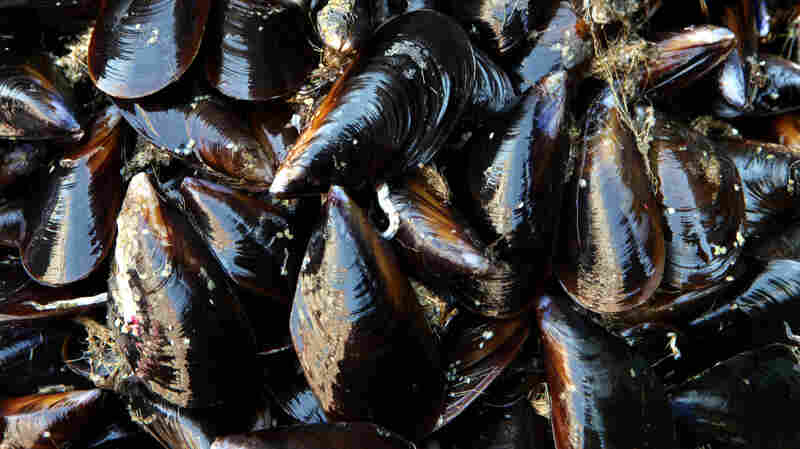 Traces Of Opioids Found In Seattle-Area Mussels