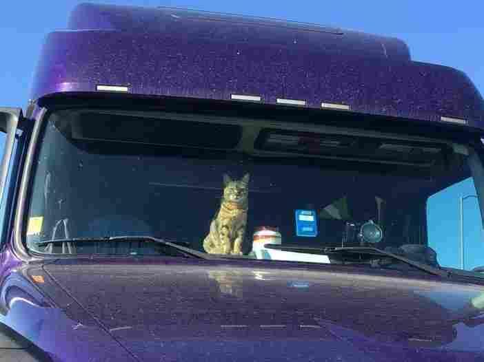 Cat in a semi-truck.