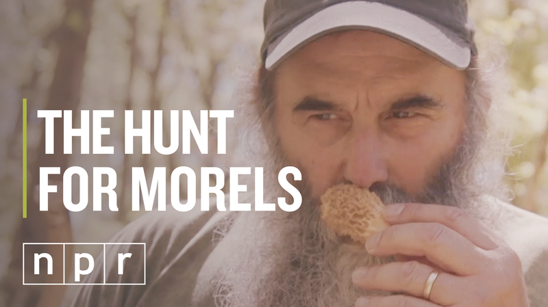 VIDEO: Hunting For Morels, The Most Delectable Mushroom Of The Forest