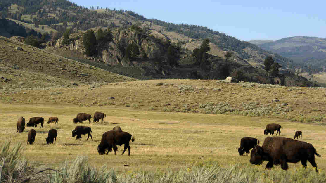 Woman gored by bison at Yellowstone Park