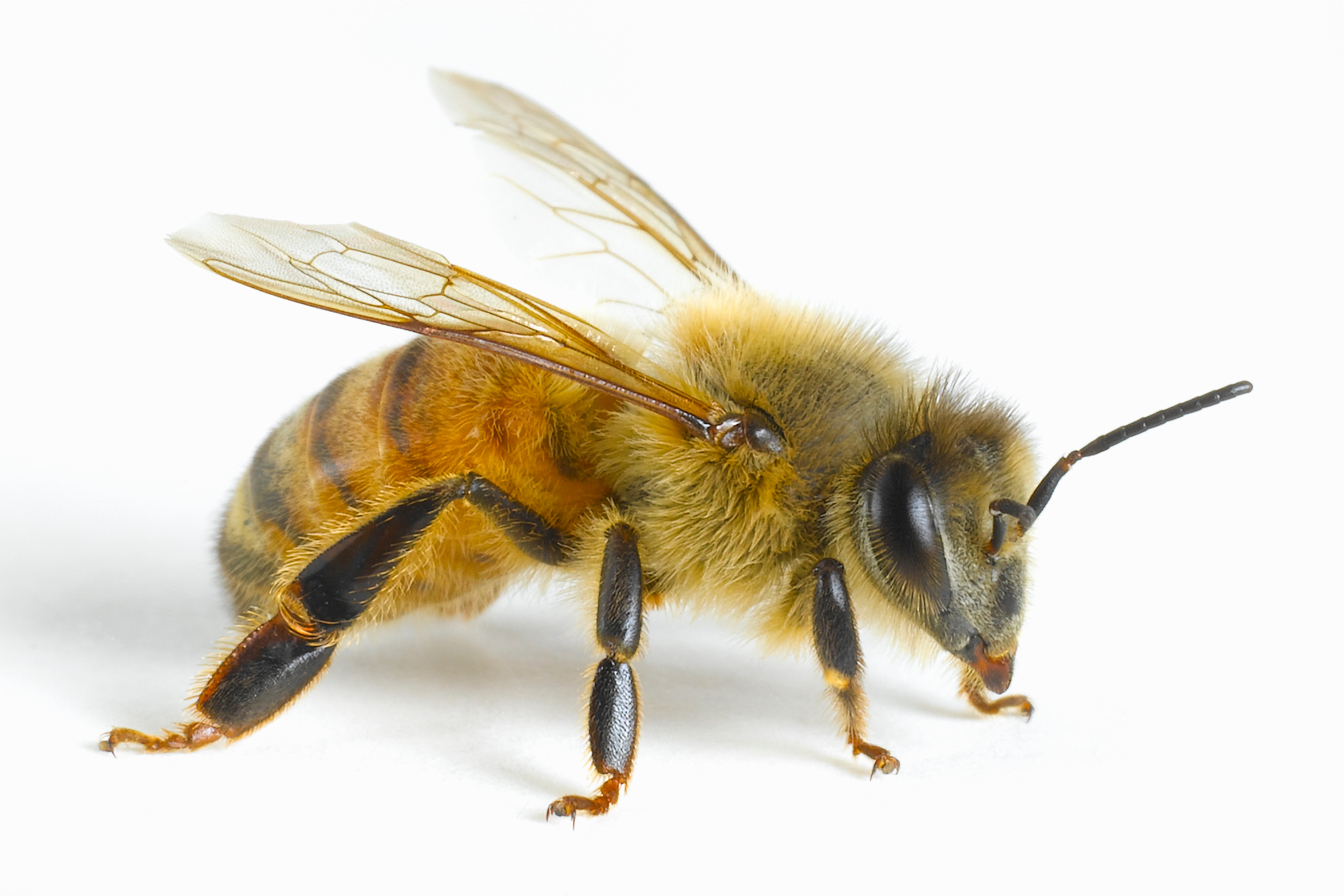 Math Bee: Honeybees Seem To Understand The Notion Of Zero