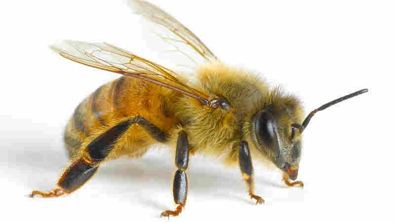 Math Bee: Honeybees Seem To Understand The Notion Of Zero