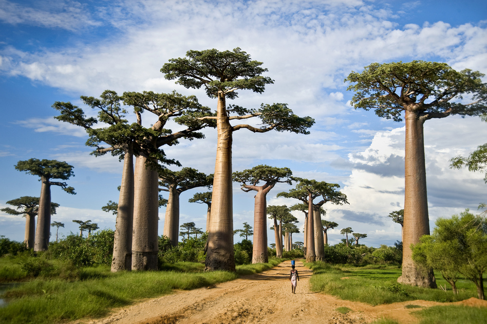 Baobab trees along a dirt road called the Avenue of the Baobabs in Morondava, Madagascar. (Panoramic Images/Getty Images)