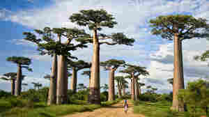 Why Are Some of Africa's Biggest Baobab Trees Dying Off?