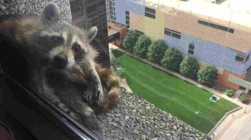 Raccoon Vs. Skyscraper: The Summer Blockbuster You Never Knew You Needed