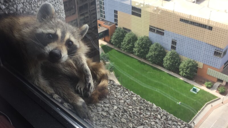 Raccoon Scales Minnesota Skyscraper, Reminding Us Some