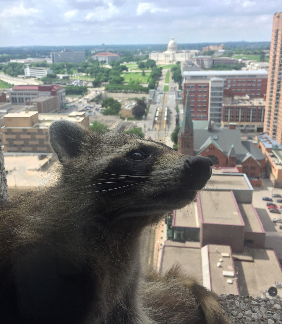 With the Minnesota State Capitol in the background, a wily raccoon scampered on ledges more than 20 stories high this week.
