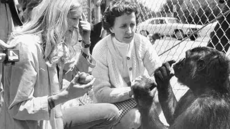 Koko The Gorilla Dies; Redrew The Lines Of Animal-Human Communication