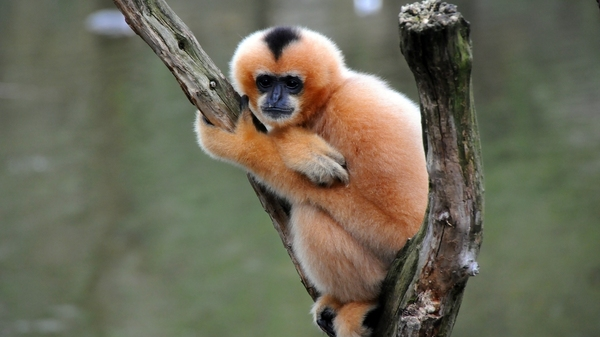 The northern white-cheeked gibbon is a critically endangered ape native to China, Vietnam and Laos. Scientists have discovered a new species of gibbon, now extinct, that lived in China as recently as 2,200 years ago.