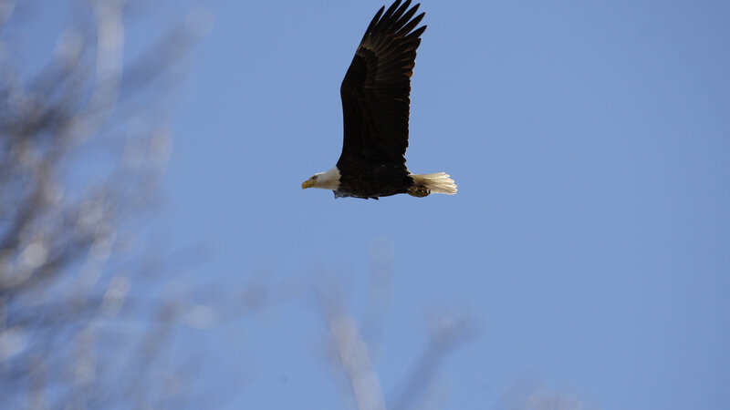 officials say illegal pesticide caused deaths of 13 bald eagles in