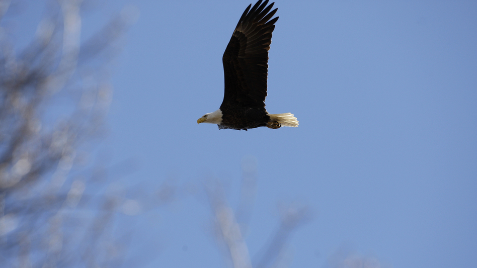A bald eagle flies over its nest in Middle River, Md., in 2009. (Rob Carr/AP)