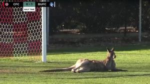 Kangaroo Brings Soccer Match To A Standstill