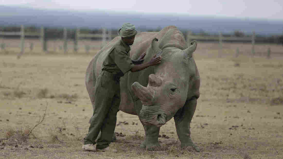 The resulting hybrid embryos to save Northern white Rhino