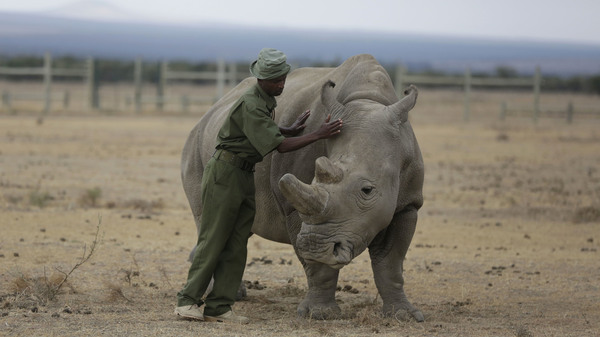 Scientists Hope Lab-Grown Embryos Can Save Rhino Species From Extinction